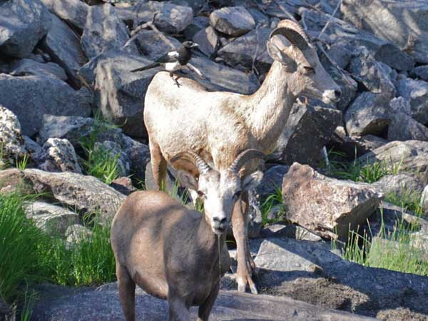Big Horn Mountain Sheep, Trail Riding